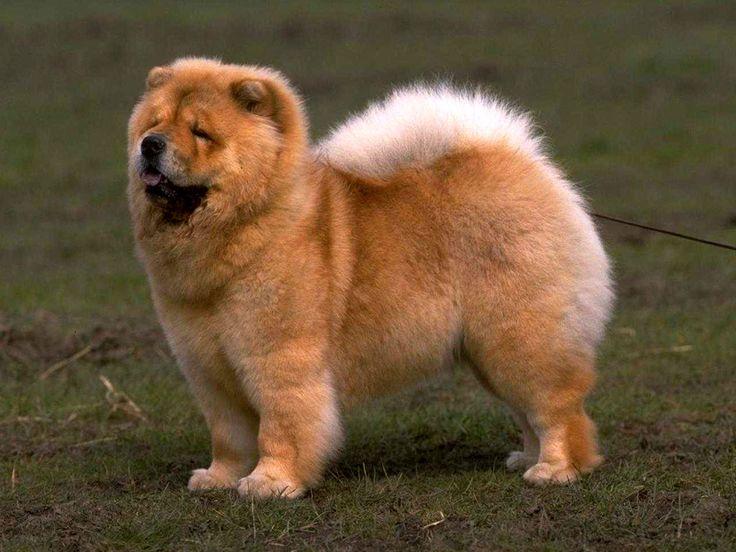 Собаки породы чау-чау, выведенные еще во времена Древнего Китая, привлекают многих людей невероятно густой шерстью на всем теле и необычным фиолетовым языком. Несмотря на привлекательный внешний вид, эти мохнатые собаки могут доставить много хлопот начинающим собаководам. Им они могут показаться неуправляемыми бестиями, неподдающимися дрессировке, что, конечно, не так.