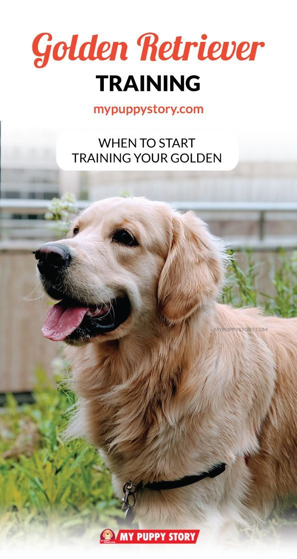 Training Your Golden Retriever My Puppy Story Dog Training
