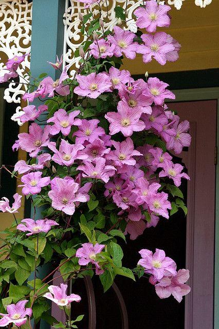 Clematis. Flower PlantsFlowers GardenOutdoor ...
