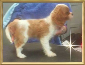Cavalier King Charles   Papillon   Puppies For Sale
