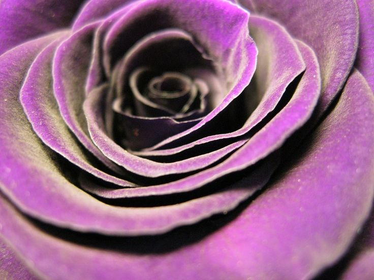 Check out the velvety texture of this rose! https://pixabay.com/en/rose-bloom-rose-violet-flower-384068/