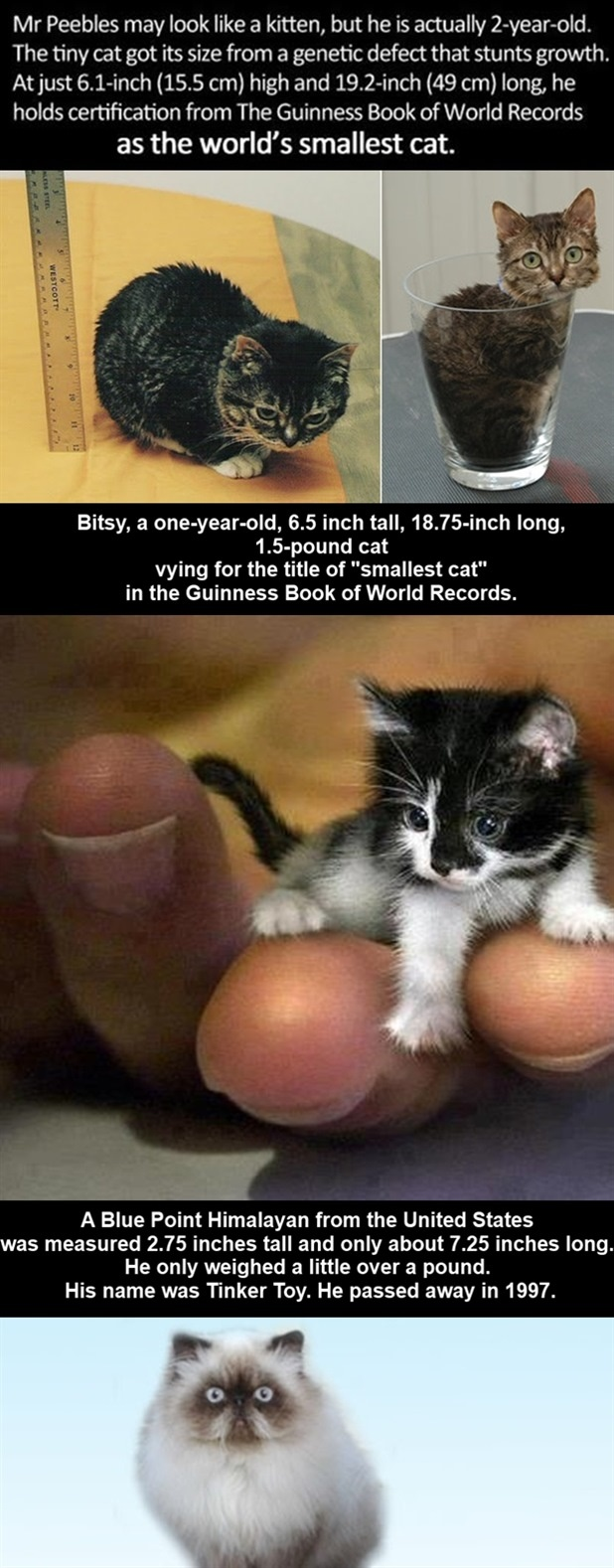 peebles smallest cat in the world