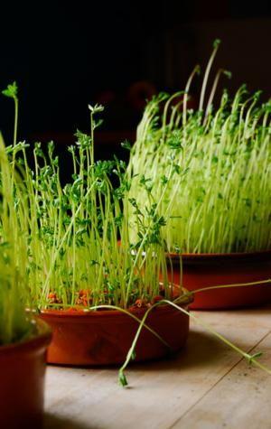 Comment faire pousser des lentilles #plantes #legumes