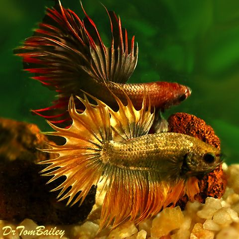 Dragon scale crowntail male bettas featured item 10 15 for Dragon fish for sale