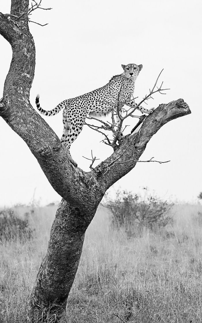 The Open Areas' resident male cheetah scans the surrounding grasslands from one of his more well-used marula trees. A gentle slope and convenient low fork provide a suitable platform and easy enough climb for this cat who is in no way as adept at tree-climbing as his spotted cousin, the leopard. Photograph by Anthony Goldman