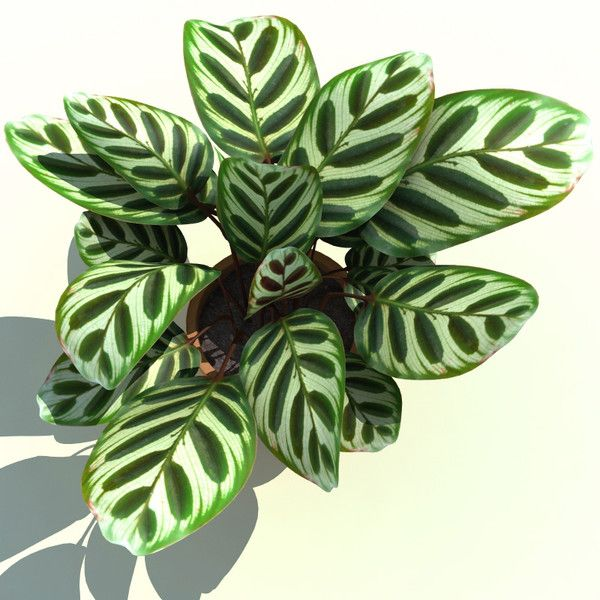 calathea makoyana peacock plant 3d model calathea makoyana peacock plant by 3d molier. Black Bedroom Furniture Sets. Home Design Ideas