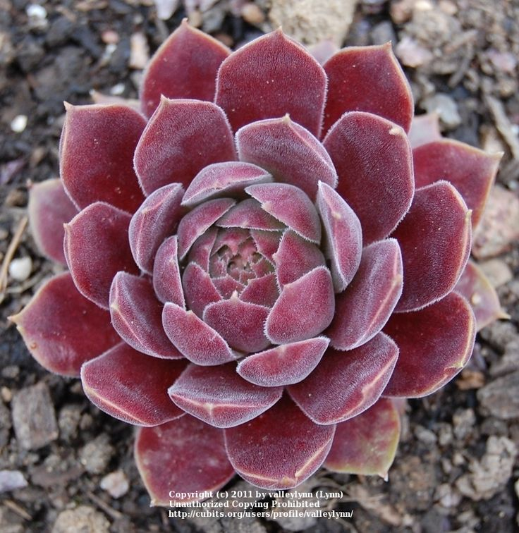 Sempervivum 'Pacific Mauve'