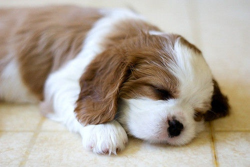 snuggle snuggleSpaniels Puppies, Puppies Dogs, Little Puppies, Adorable, Cavalier King Charles, Sleep Puppies, King Charles Spaniels, Animal, Blenheim Spaniels