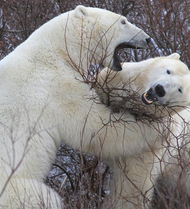 **Polar Bears - Churchill Manitoba Canada - The bears of Churchill are famous for sparring, or play fighting, as they concentrate in the region to wait for Hudson Bay to freeze.
