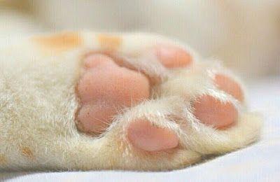 Cómo cuidar las patas de tu gato