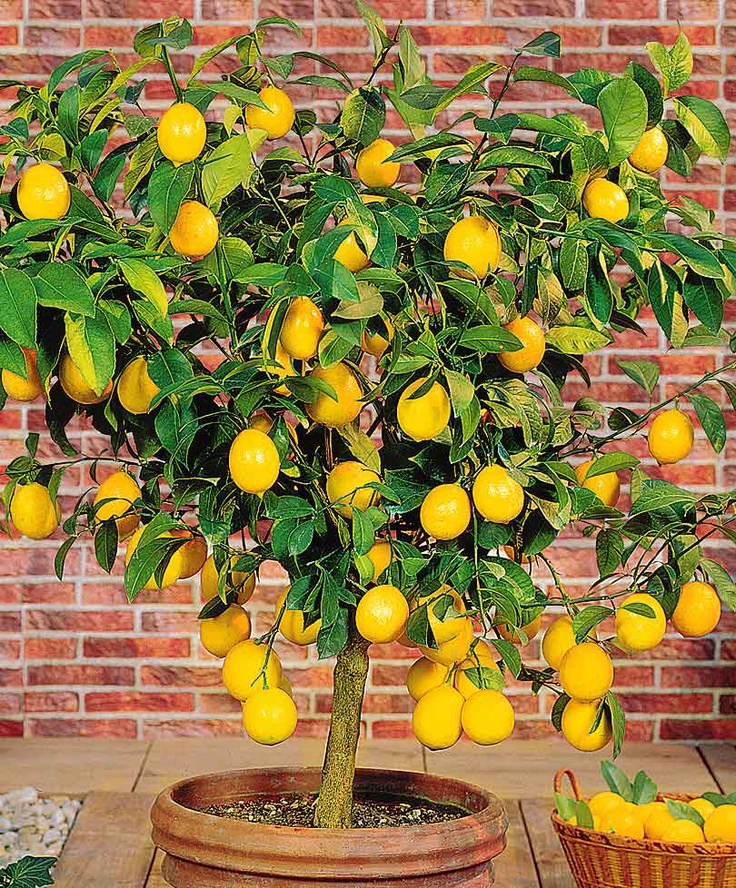 55 best images about lemon trees on pinterest