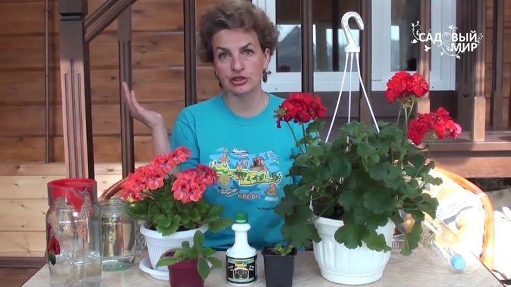 Как выращивать комнатную герань