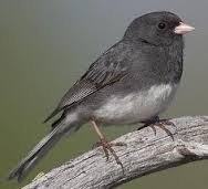 Slate Coloured Junco