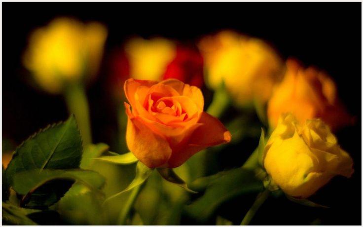 Orange Rose Buds Wallpaper | orange rose buds wallpaper 1080p, orange rose buds wallpaper desktop, orange rose buds wallpaper hd, orange rose buds wallpaper iphone