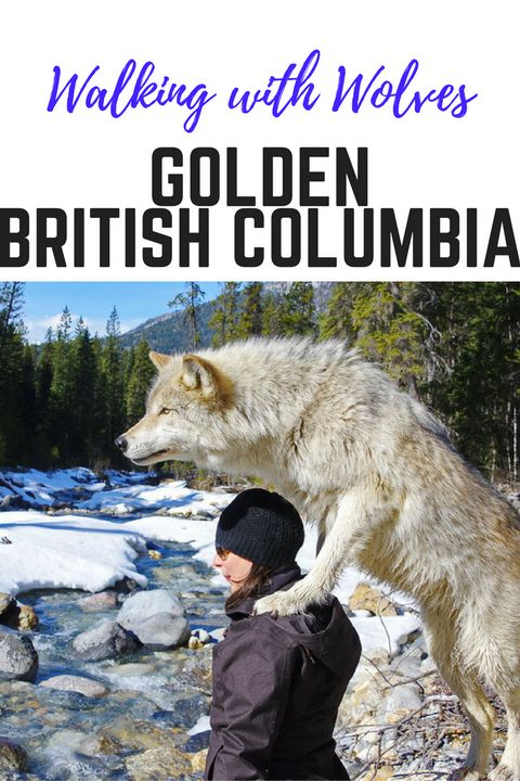 Walking with wolves in Golden, British Columbia #nature #wolves #adventure