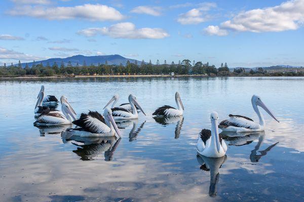 Pelicans on Wagonga Inlet, Narooma, near the board walk.