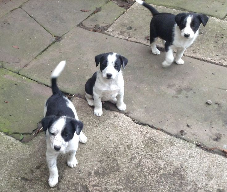 Border Collie Cross Puppies For Sale
