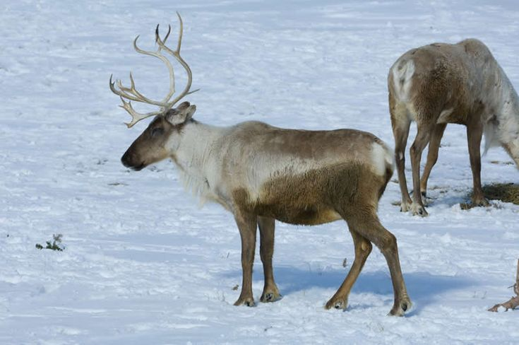 Caribou can weigh between 180 and 600 pounds and can be ...