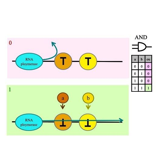 Arithmetic logic unit in a biological microprocessor: AND gate