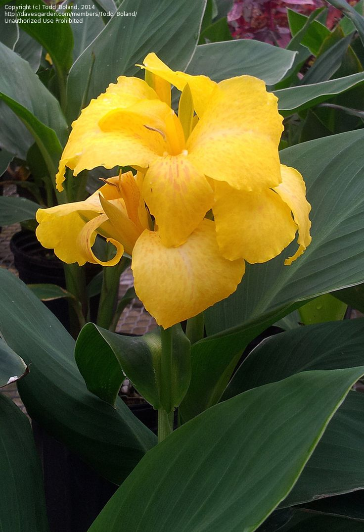 Full Size Picture Of Canna Lily Cannova Yellow Canna X