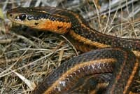 western garter snake- no poisonous snakes west of the cascades. HURRAH