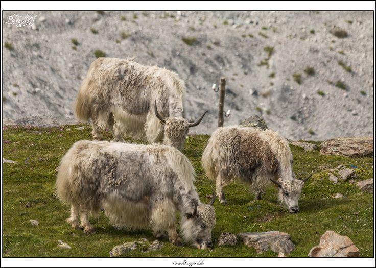 #yak , #yaks , #ortler , #südtirol , #southtyrol , #sulden