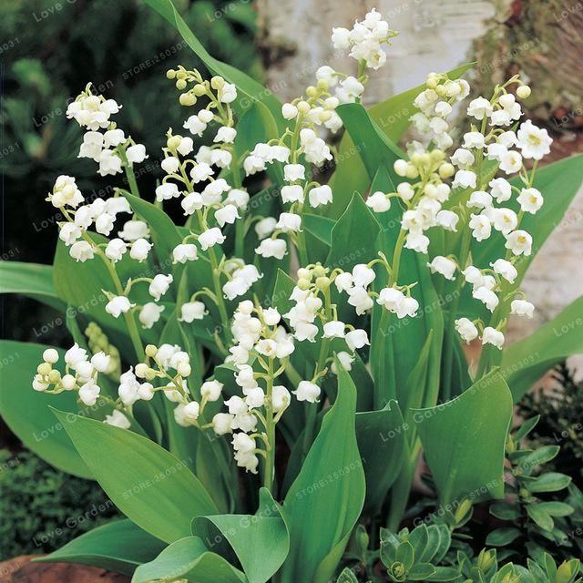 Bell Orchid Seeds Flower Campanula Bonsai Convallaria Seed Plant Pot For Home Garden 100pcs Valley Flowers Lily Of The Valley Flowers Bulb Flowers