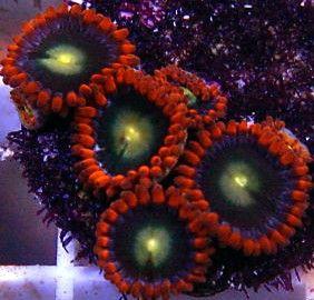 Zoanthids: Live Corals Aquacon.com :: aussie black goblin on fire zoa
