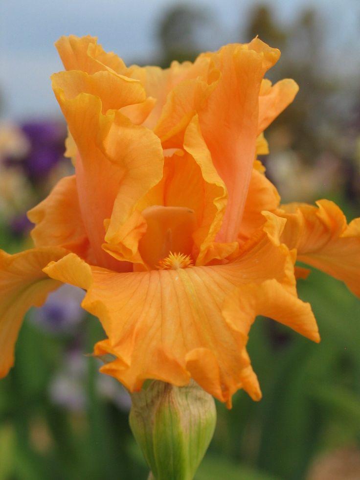 TB #Iris '#Mango #Entrée' (Blyth) http://www.roanokemyhomesweethome.com