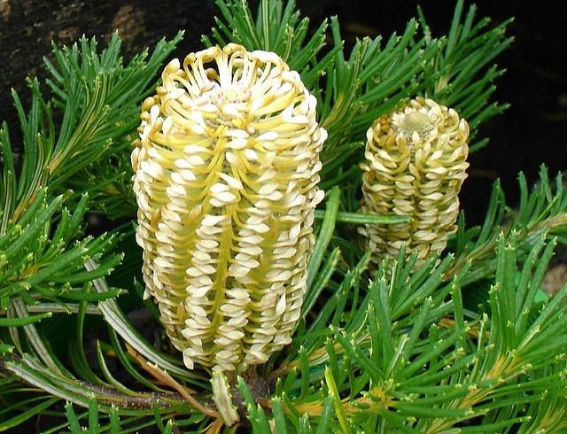 Unusual Australian flower