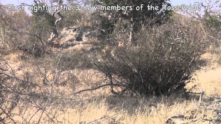 www.sunsafaris.com #animals #wildlife #lions #cubs #ross #pride #nthambo #tree #camp