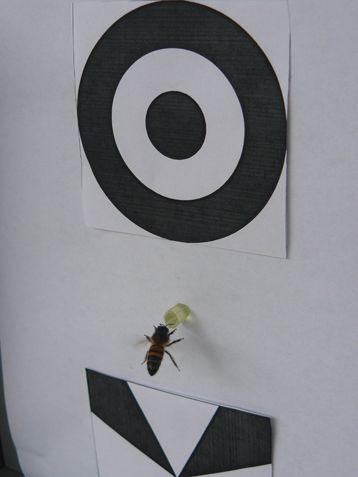 Conceptos abstratos ¿En abejas?  Científicos del Centro de Investigación sobre la Cognición Animal la de la Universidad de Toulouse III han llegado a resultados realmente sorprendentes en sus investigaciones con abejas.  Según el resultado de un estudio que se acaba de publicar en PNASel cerebro de una abeja es capaz de manejar conceptos abstractos y crear otros nuevos.