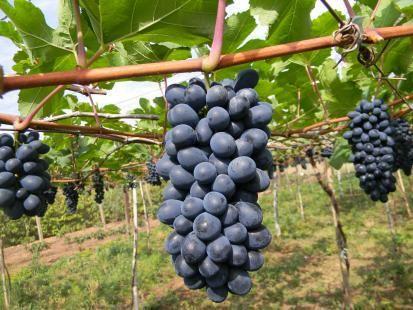 Todas as e informações sobre como plantar uva, tudo que você precisa saber sobre o cultivo desta fruta tão especial e tão apreciada.