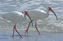 Mercury causes homosexuality in male ibises