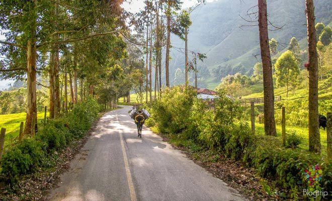 Viaje al valle del Cocora Salento Colombia, paisaje cafetero https://blogtrip.org/valle-del-cocora-salento-quindio-colombia-natural/