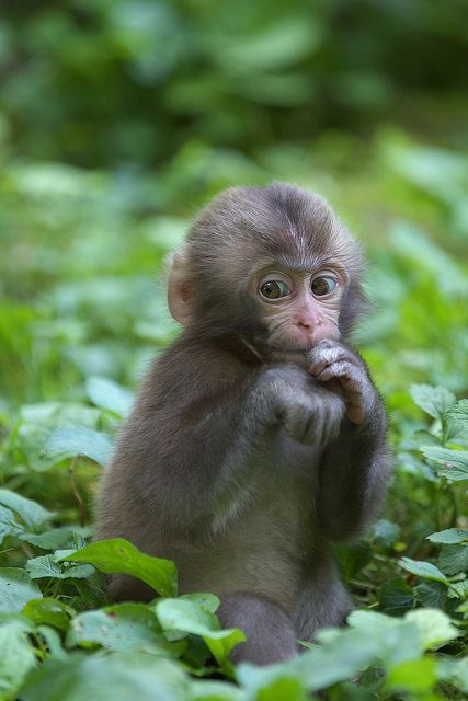 Baby monkey in the forest, watching carefully; Kanba, Okayama, Japan