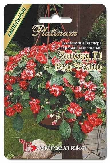 Цветы 2016 : Бальзамин Валлера Атена F1 Ред Флэш