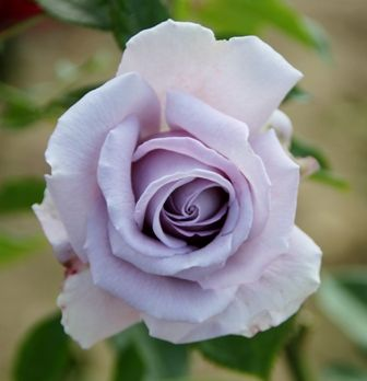 Blue Diamond   Roses UK