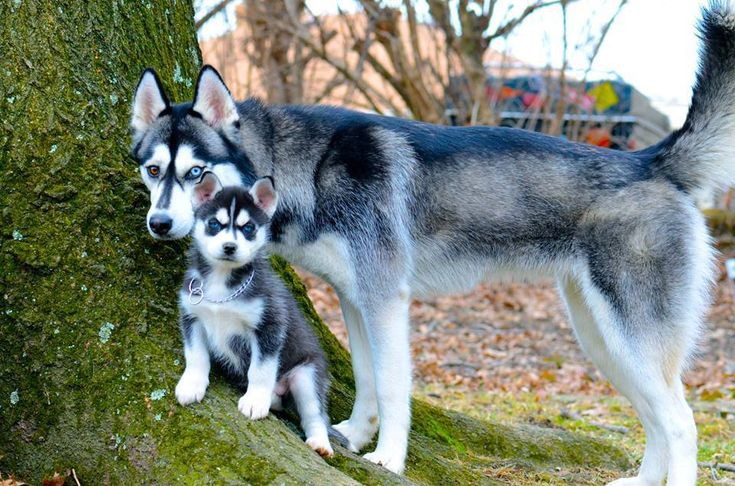 So sweet! ♥  Siberian Huskies.