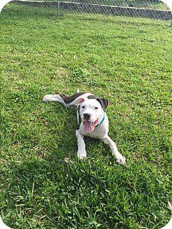 Seattle, WA - American Bulldog Mix. Meet Buster, a puppy for adoption. http://www.adoptapet.com/pet/17680667-seattle-washington-american-bulldog-mix