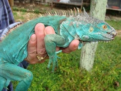 Colorful Pet Lizards Axanthic Green Iguana ...