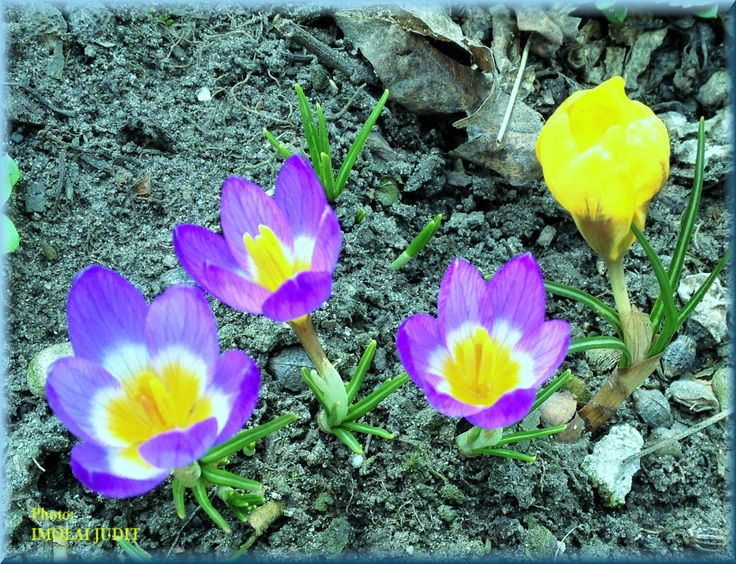 Blowing Crocus, purple and yellow
