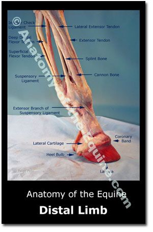 Iron free hoof website. Even greater insight on the distal structures, primarily the hoof.