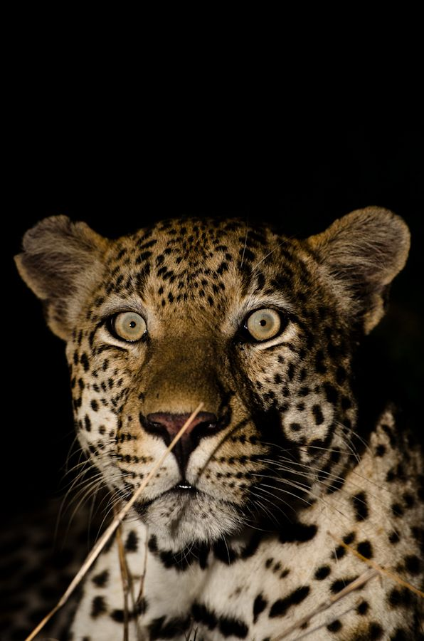 leopard while on safari at Sabi Sabi Private Game Reserve, South Africa - #travel #Africa
