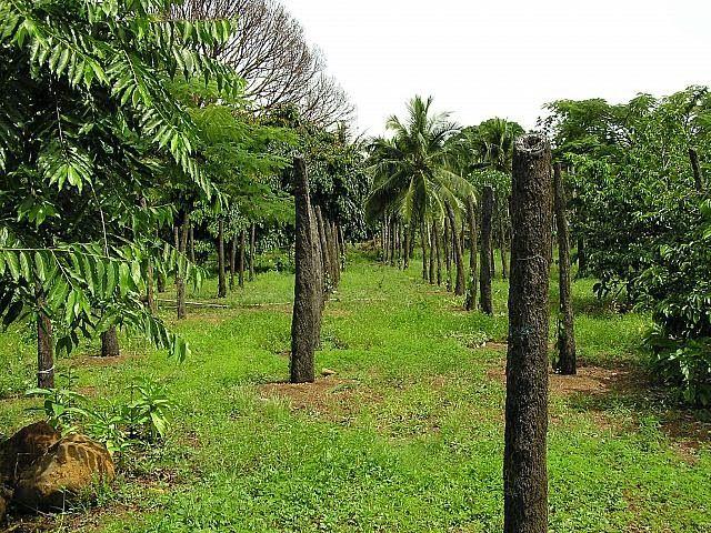 セイ胡椒農園 ミクロネシア連邦ポンペイ島