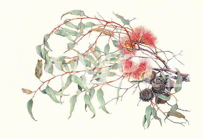A signed Eucalyptus print by Philippa Nikulinsky