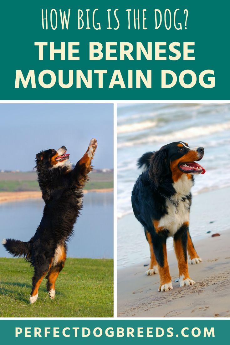 Bernese mountain dog size in 2020 bernese mountain dog