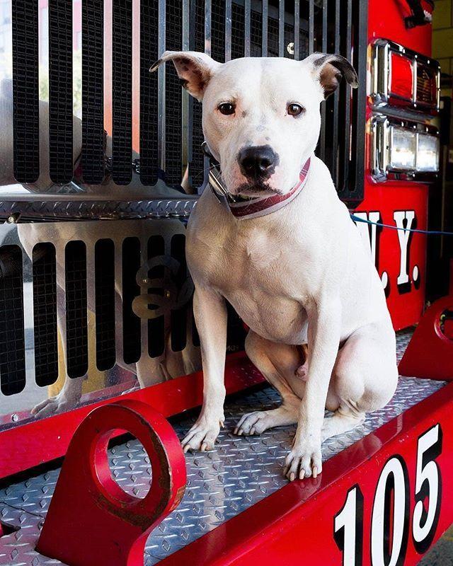 Julianeleighforsyth Meet Deano The Firehouse Dog Of Dean St