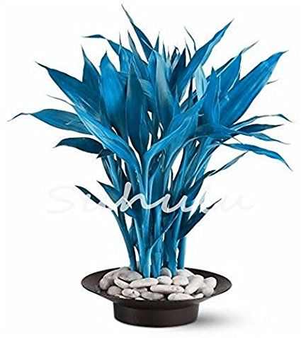 New Arrival 2017 !!! 50 Pcs Rare Exotic Blue Bamboo Seeds,Indoor Bonsai Seeds,House Decoration Plants For DIY Home Garden 5