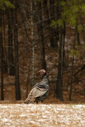 wild turkey cleaning video